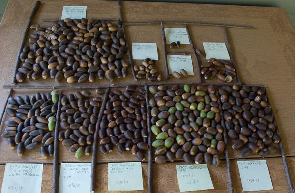 Engelmann oak acorns