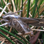 Whitelined sphinx moth in the garden.