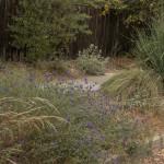 Salvia clevelandii 'Winnifred Gilman'