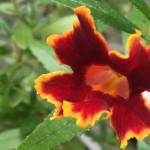Diplacus 'Fiesta Marigold'