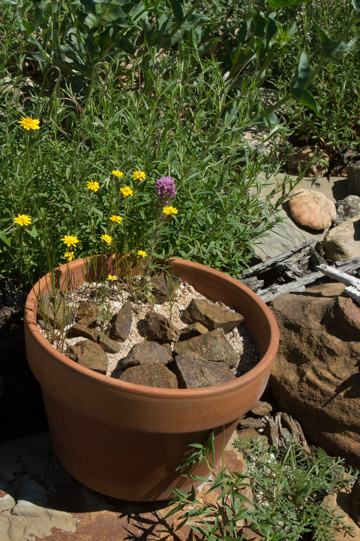 Goldfield and owl\'s clover in pot - Weeding Wild Suburbia