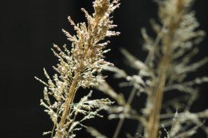 Brown seedhead
