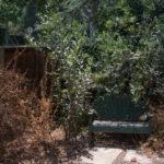 Summer dormant gooseberry, evergreen toyon.