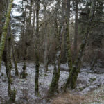 Wintery forest scene with red alders