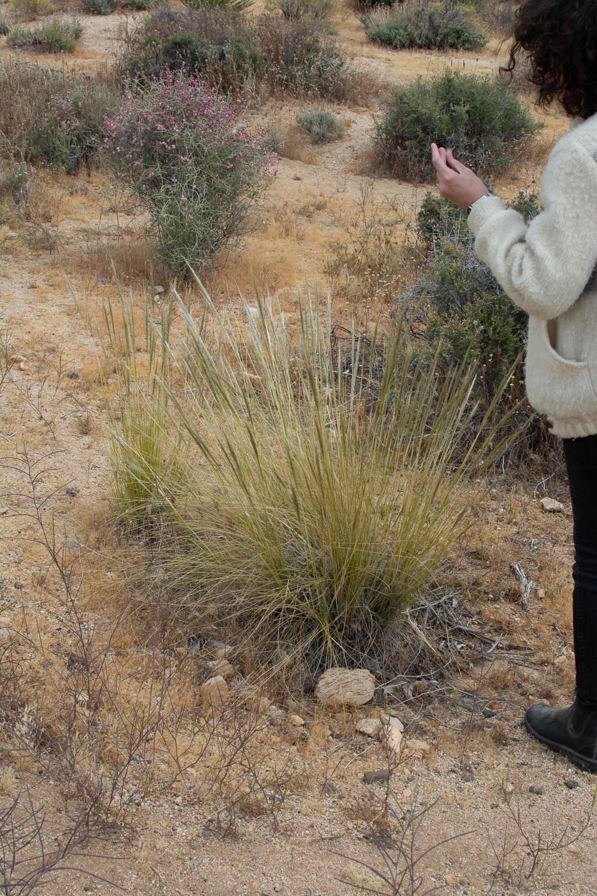 Desert Needlegrass