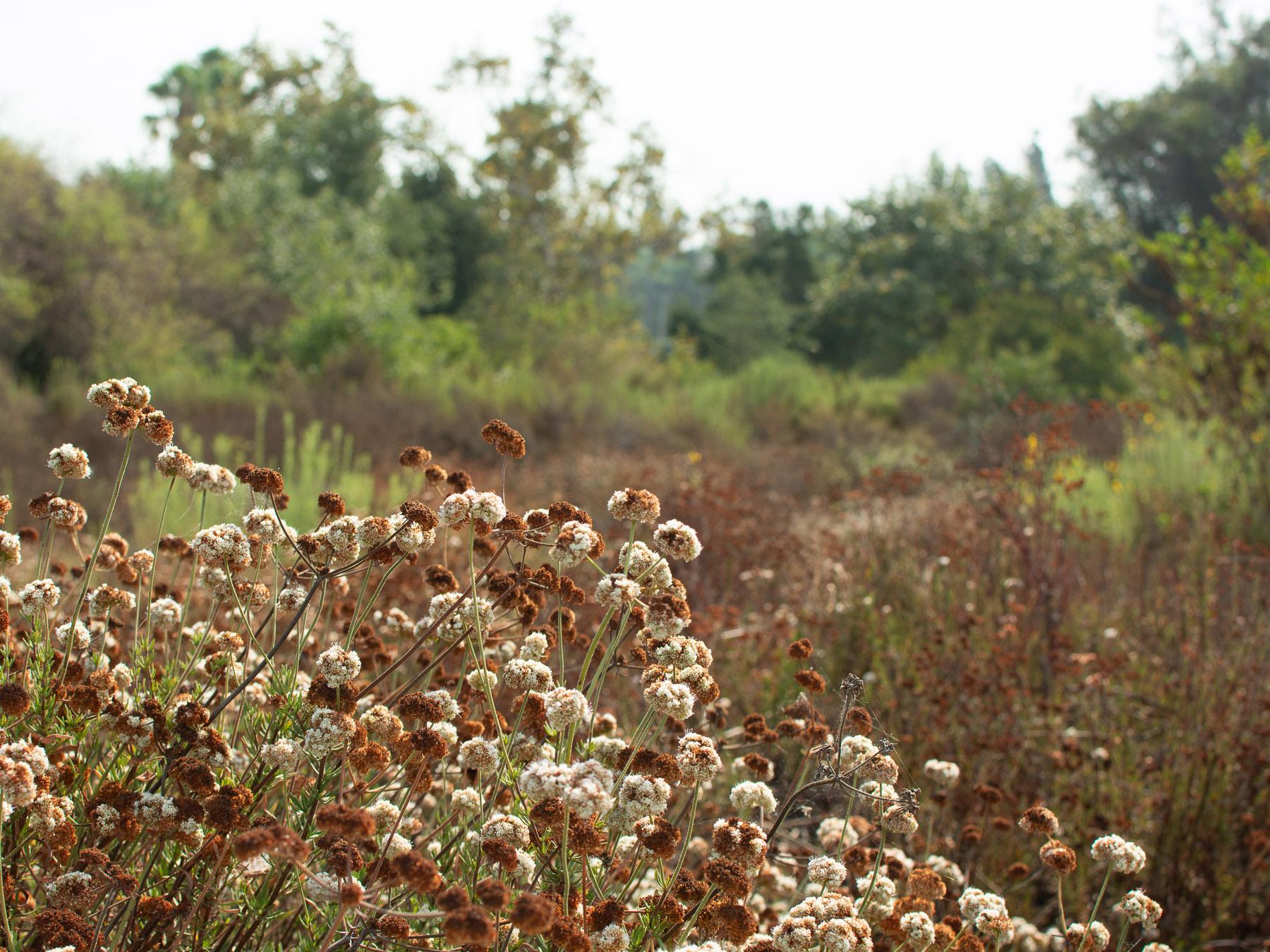 Late August buckwheat