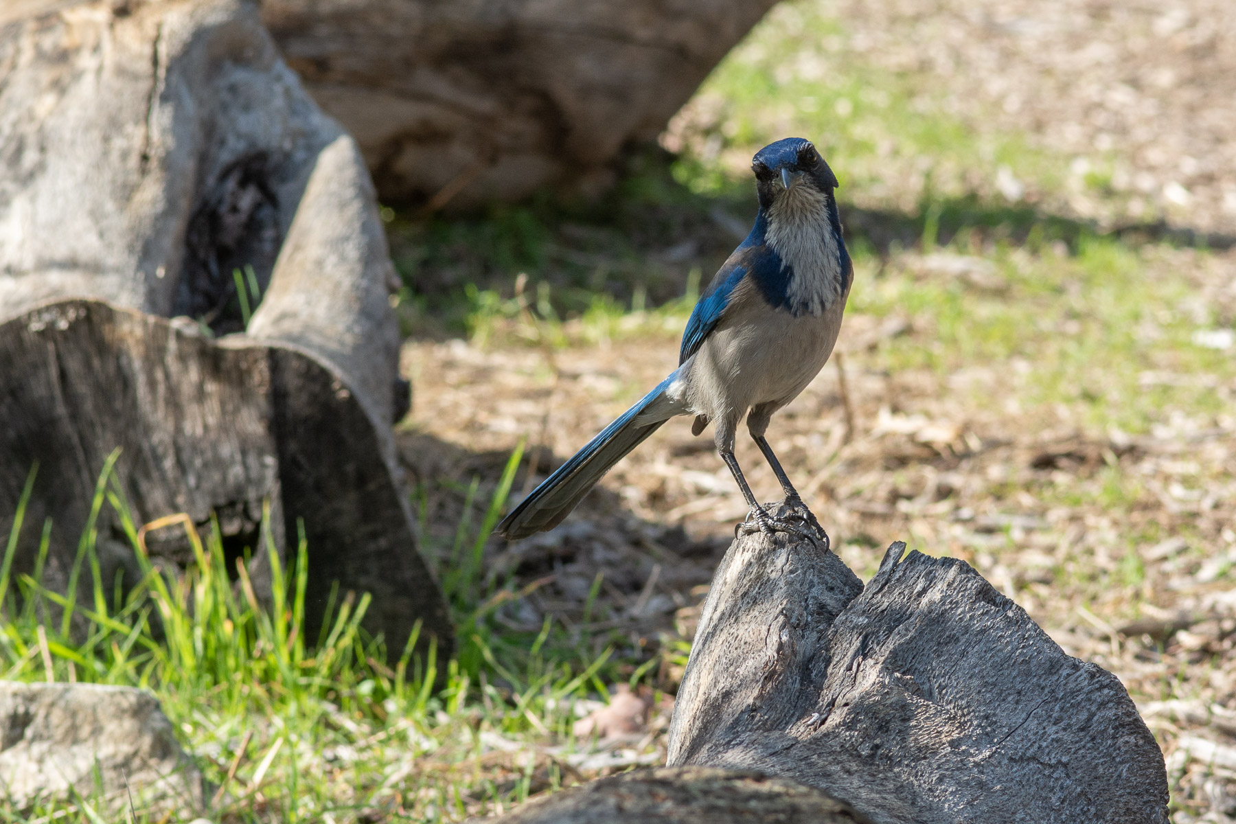 quizzical scrub jay enjoys the park
